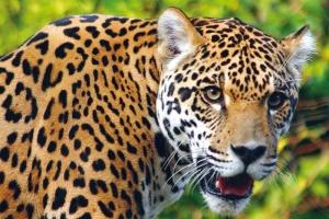 Resultado de imagen para el jaguar piel
